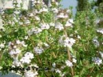 10-05-08 fiori timo (3).JPG